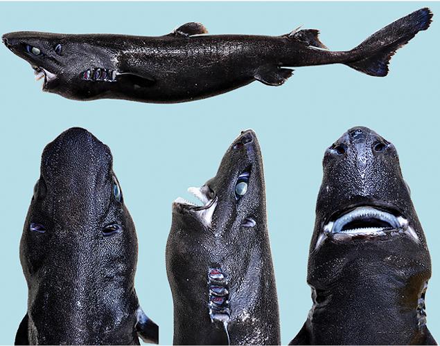 На днях учёные опубликовали информацию о существовании нового вида акул